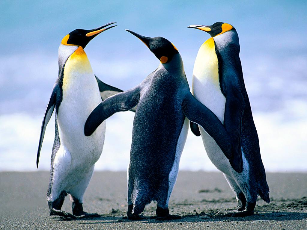 นกยูงตัวหนึ่งในดินแดนนกเพนกวิน 3